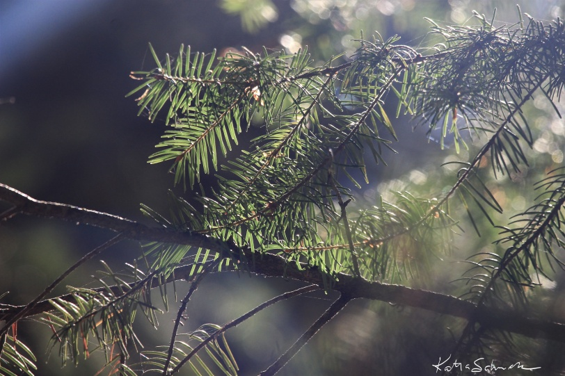 Dreamstate pine