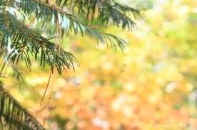 Pine drops